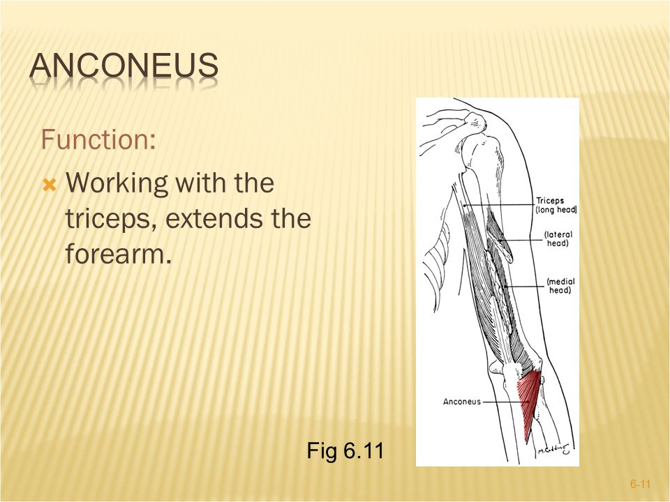 Anconeus Function: Working with the triceps, extends the forearm.