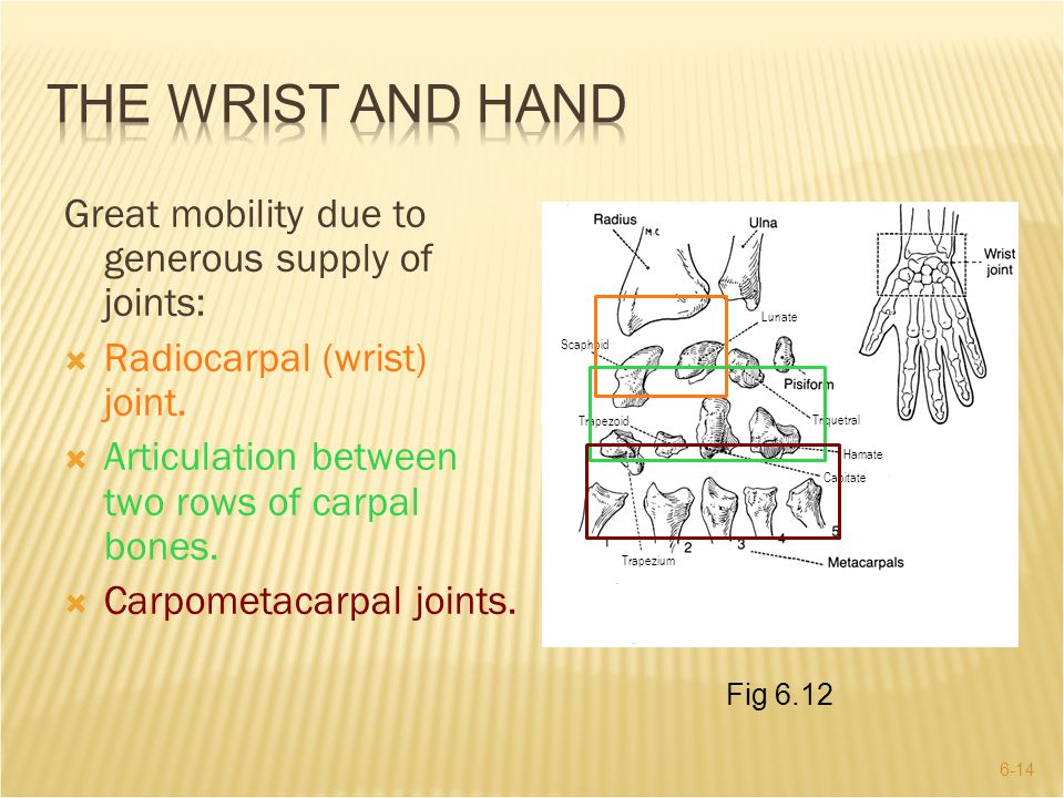 THE WRIST AND HAND Great mobility due to generous supply of joints: