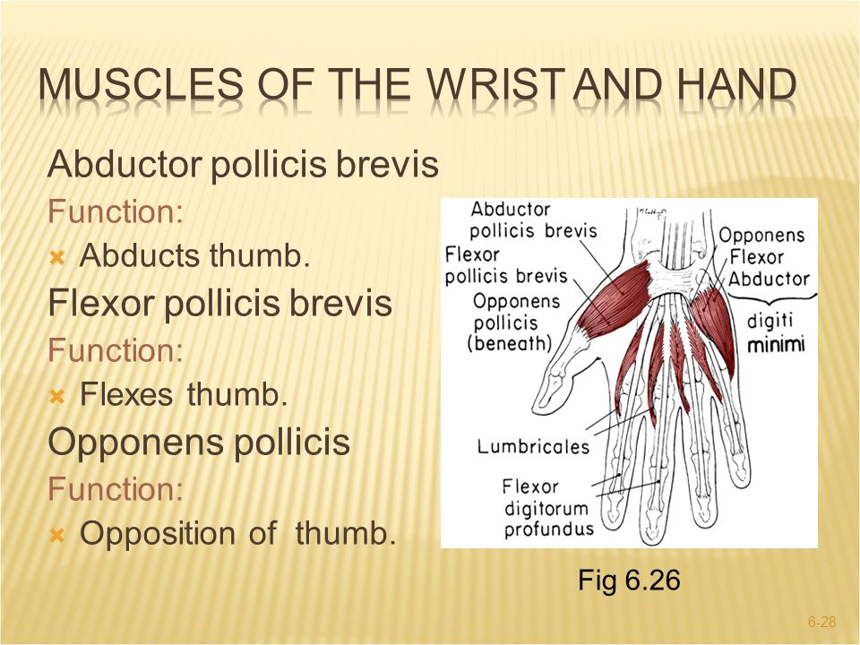 Muscles of the wrist and hand