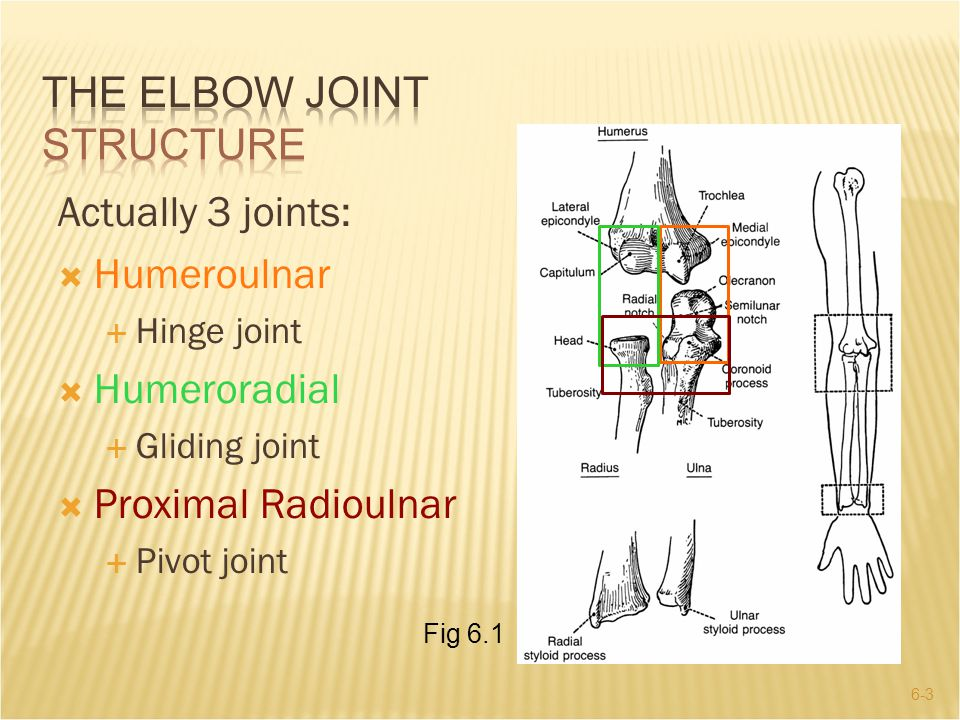 THE ELBOW JOINT Structure