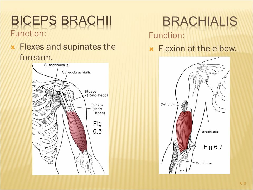 Biceps Brachii Function: Function: Flexes and supinates the forearm.