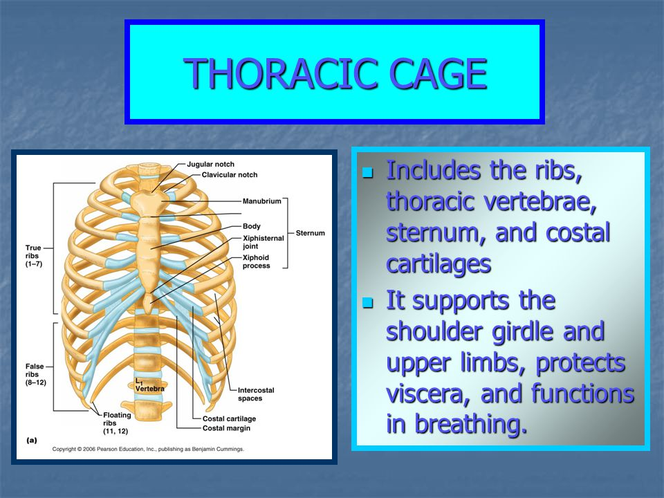 THORACIC CAGE Includes the ribs, thoracic vertebrae, sternum, and costal cartilages.