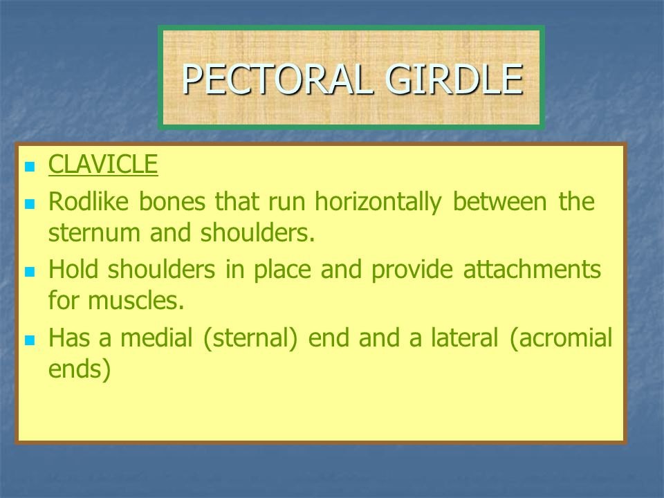 PECTORAL GIRDLE CLAVICLE