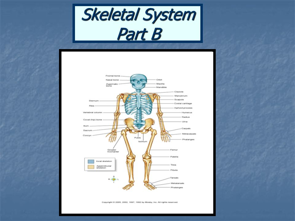 Skeletal System Part B