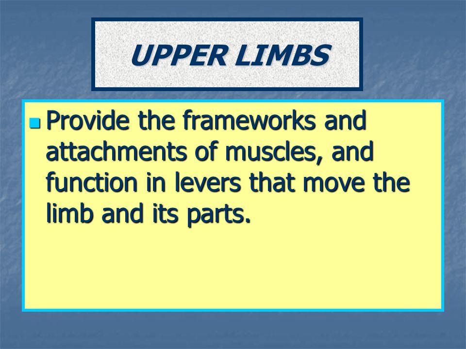 UPPER LIMBS Provide the frameworks and attachments of muscles, and function in levers that move the limb and its parts.