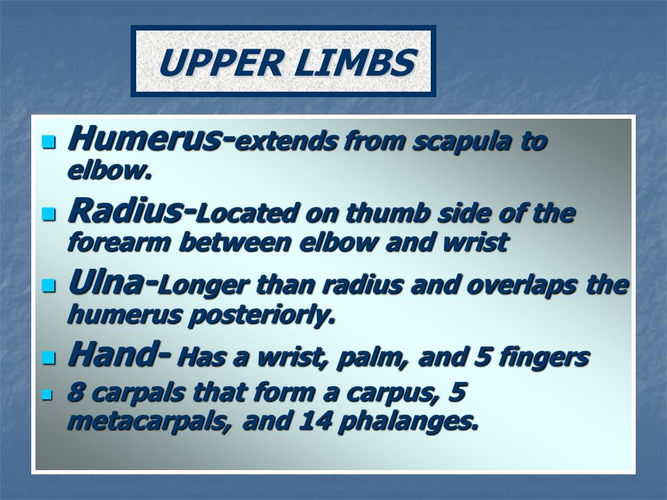 UPPER LIMBS Humerus-extends from scapula to elbow.