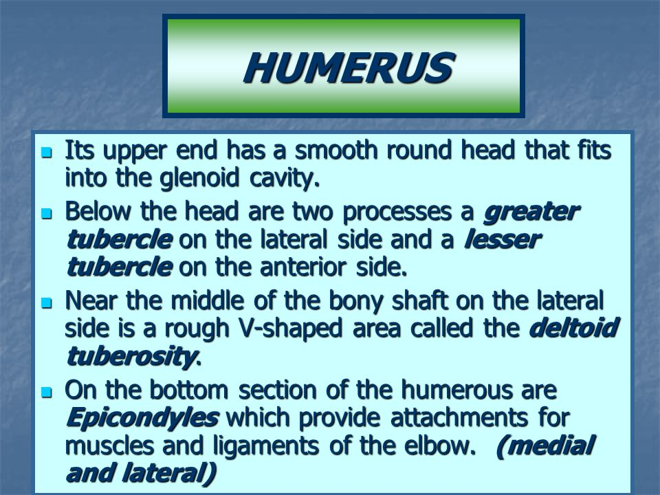 HUMERUS Its upper end has a smooth round head that fits into the glenoid cavity.