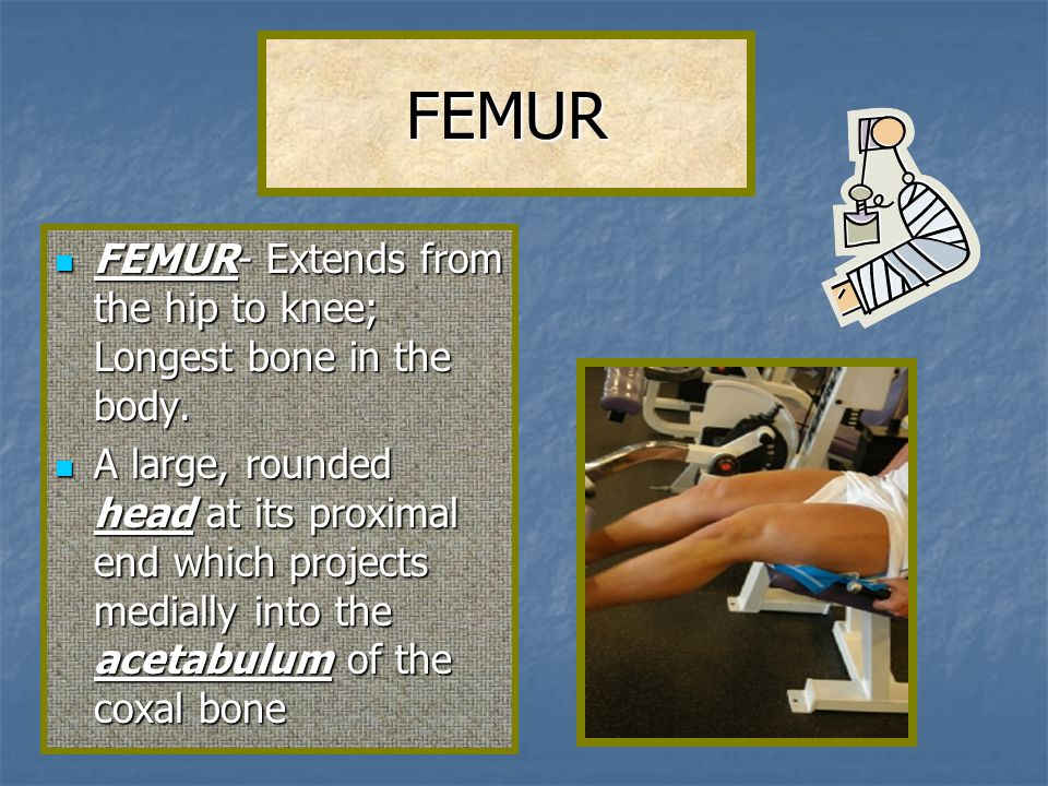 FEMUR FEMUR- Extends from the hip to knee; Longest bone in the body.