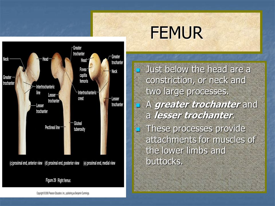 FEMUR Just below the head are a constriction, or neck and two large processes. A greater trochanter and a lesser trochanter.