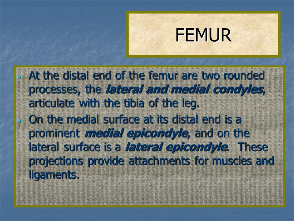 FEMUR At the distal end of the femur are two rounded processes, the lateral and medial condyles, articulate with the tibia of the leg.