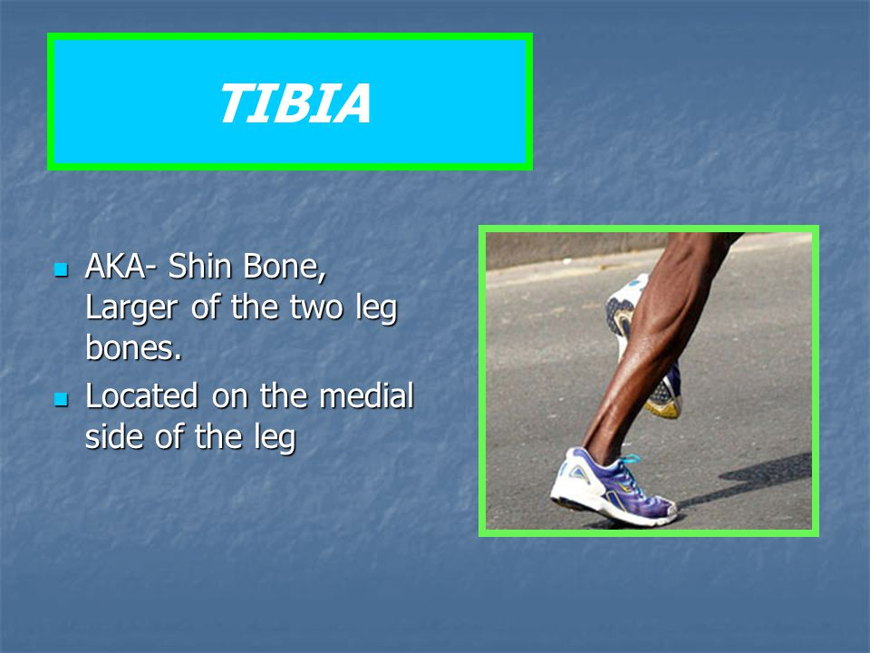 TIBIA AKA- Shin Bone, Larger of the two leg bones.