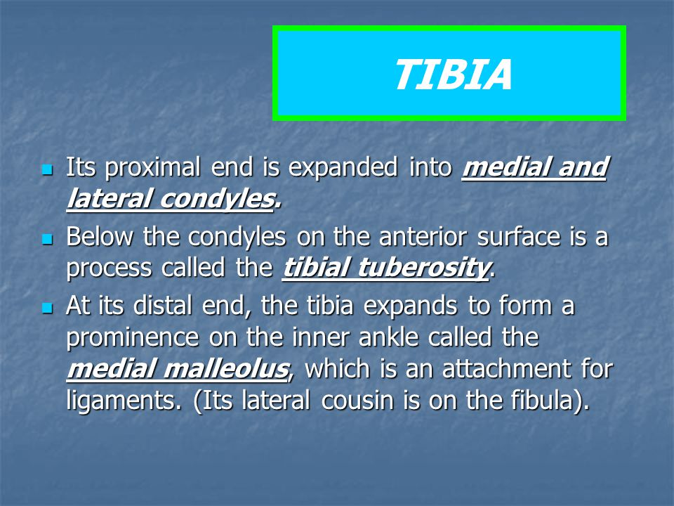 TIBIA Its proximal end is expanded into medial and lateral condyles.
