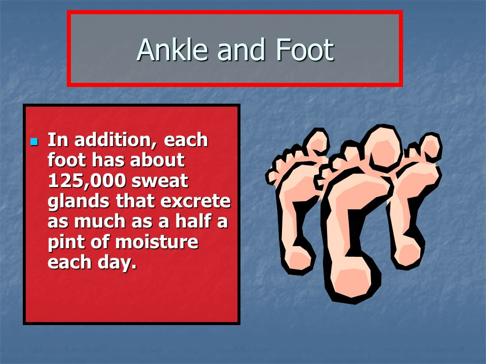 Ankle and Foot In addition, each foot has about 125,000 sweat glands that excrete as much as a half a pint of moisture each day.