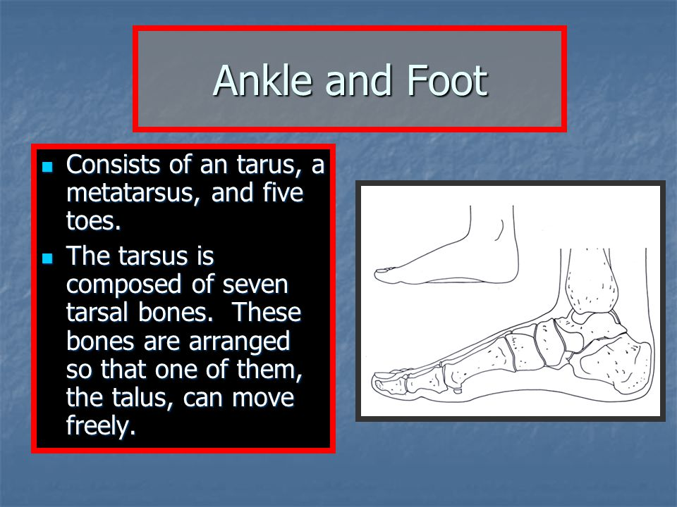 Ankle and Foot Consists of an tarus, a metatarsus, and five toes.