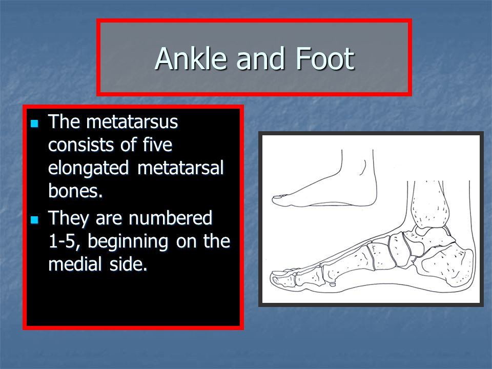 Ankle and Foot The metatarsus consists of five elongated metatarsal bones.