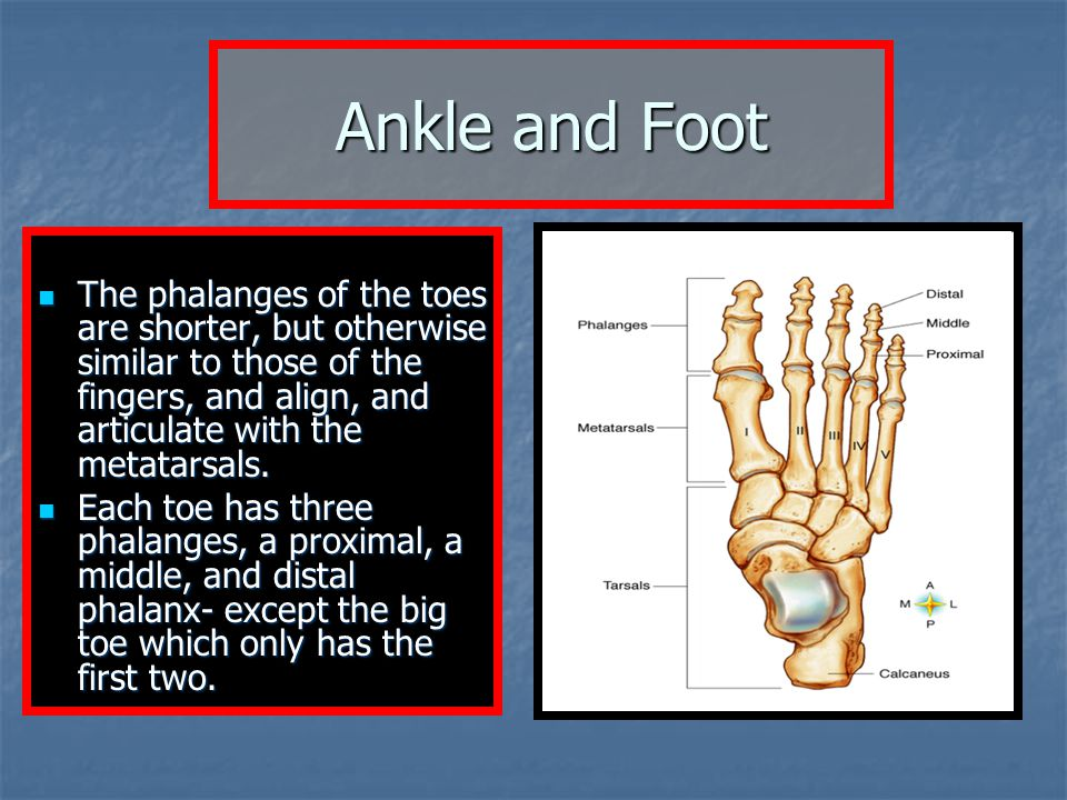 Ankle and Foot The phalanges of the toes are shorter, but otherwise similar to those of the fingers, and align, and articulate with the metatarsals.