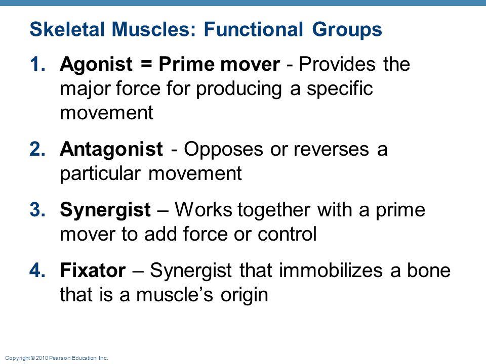 Skeletal Muscles: Functional Groups