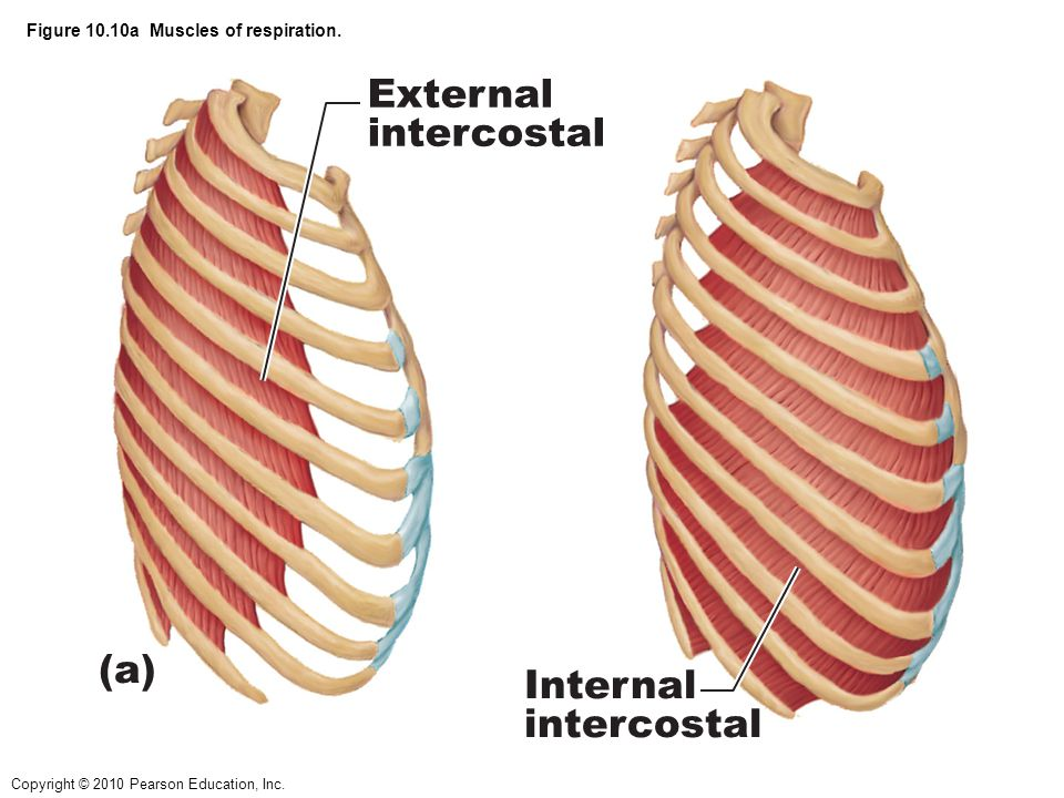 Figure 10.10a Muscles of respiration.