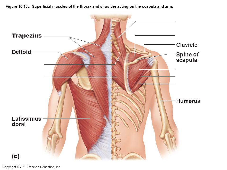 Trapezius Clavicle Deltoid Spine of scapula Humerus Latissimus dorsi