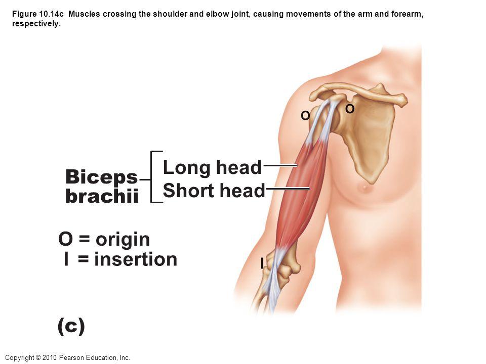 Long head Biceps brachii Short head O = origin I = insertion (c)