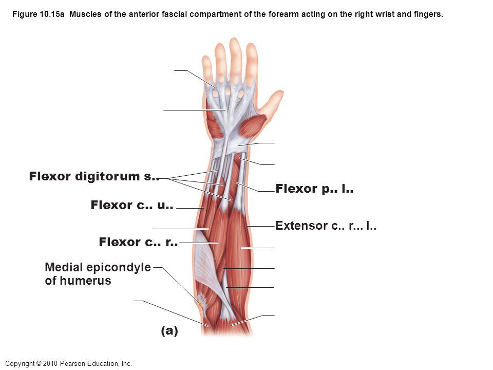 Flexor digitorum s.. Flexor p.. l.. Flexor c.. u..