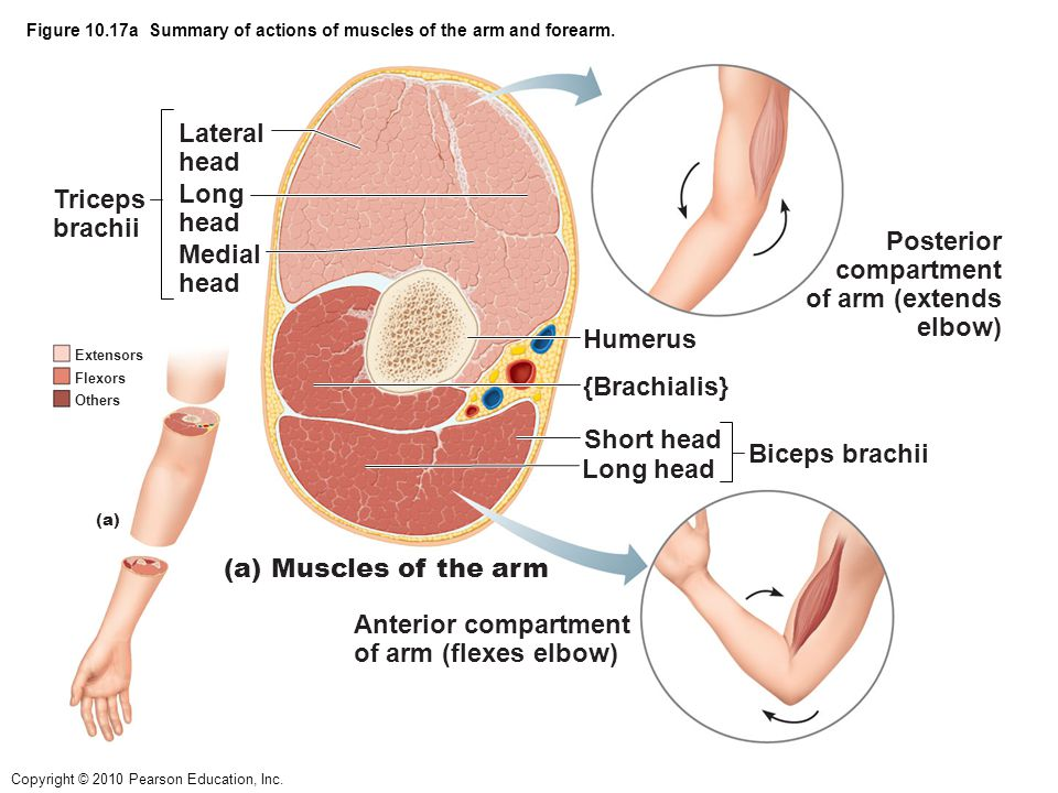 Figure 10.17a Summary of actions of muscles of the arm and forearm.
