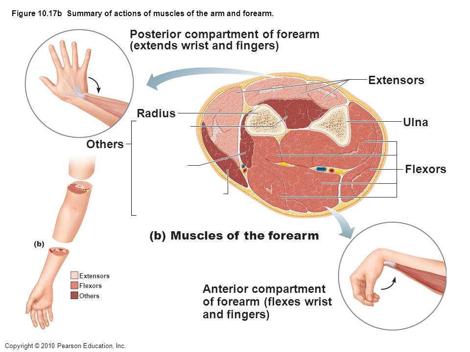 Figure 10.17b Summary of actions of muscles of the arm and forearm.