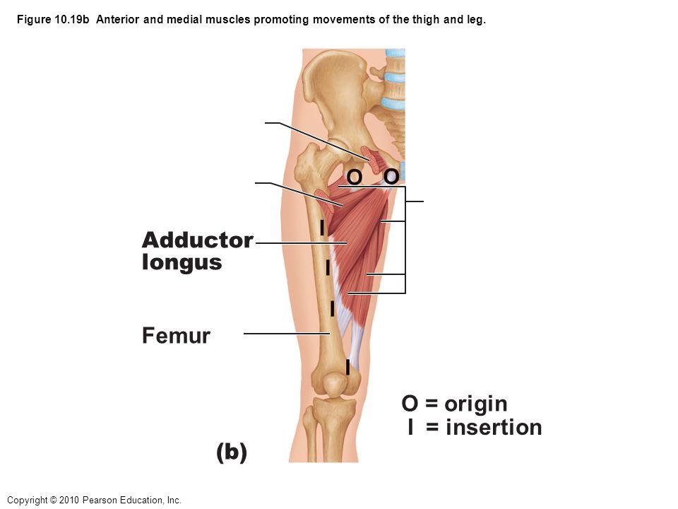 Adductor longus Femur O = origin I = insertion (b)