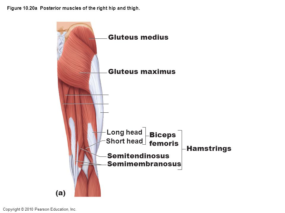 Figure 10.20a Posterior muscles of the right hip and thigh.