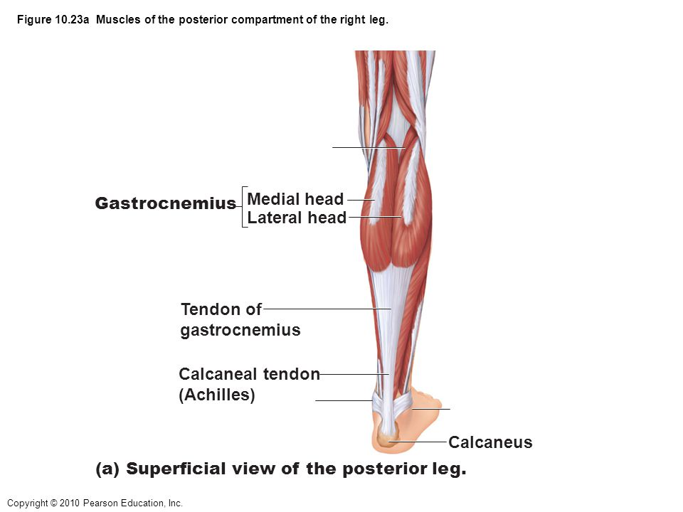 Figure 10.23a Muscles of the posterior compartment of the right leg.