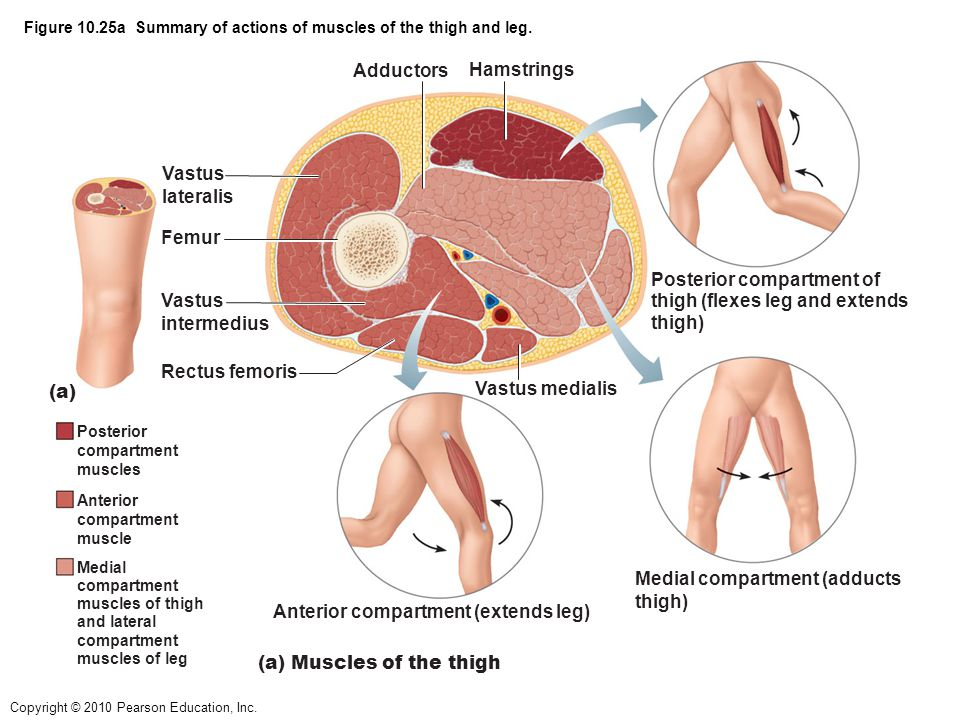 Figure 10.25a Summary of actions of muscles of the thigh and leg.