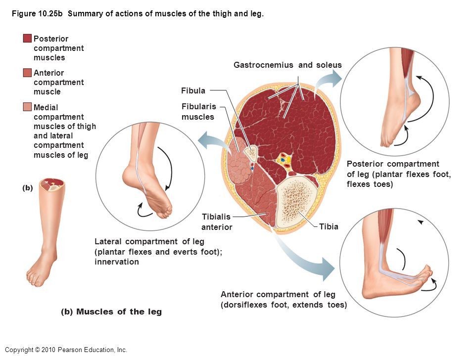 Figure 10.25b Summary of actions of muscles of the thigh and leg.