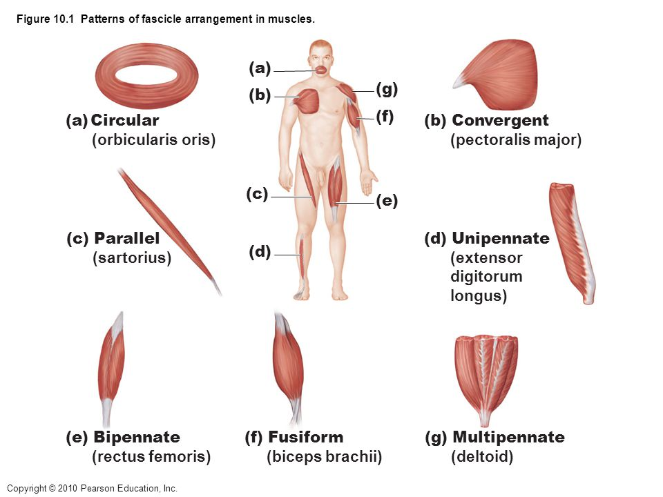 Figure 10.1 Patterns of fascicle arrangement in muscles.