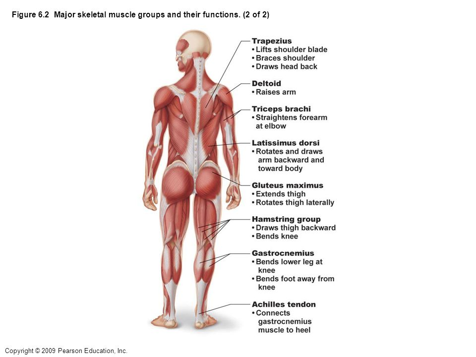 Figure 6.2 Major skeletal muscle groups and their functions. (2 of 2)