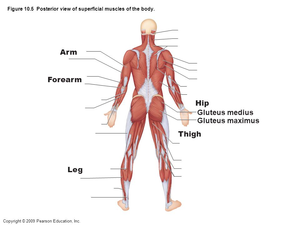 Figure 10.5 Posterior view of superficial muscles of the body.