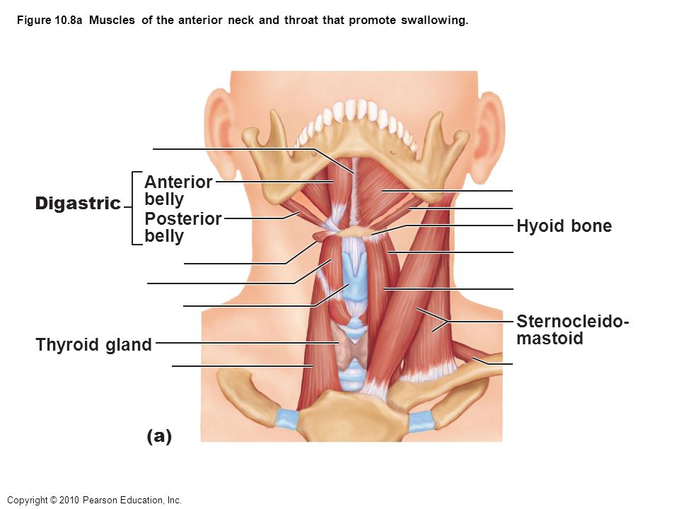 Anterior belly Digastric Posterior Hyoid bone belly Sternocleido-
