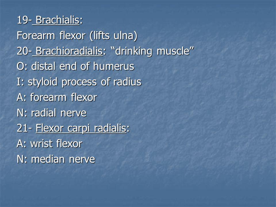 19- Brachialis: Forearm flexor (lifts ulna) 20- Brachioradialis: drinking muscle O: distal end of humerus.