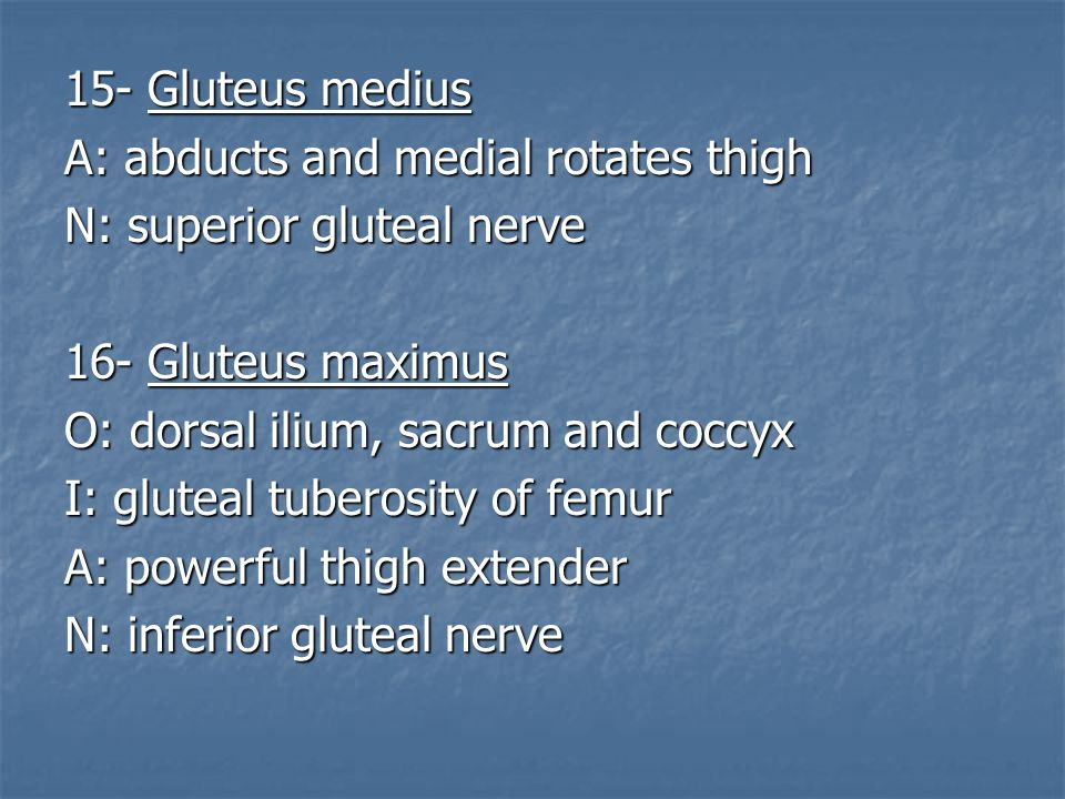15- Gluteus medius A: abducts and medial rotates thigh. N: superior gluteal nerve. 16- Gluteus maximus.