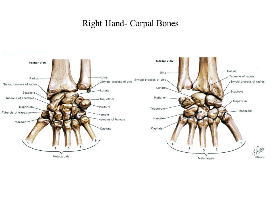 Right Hand- Carpal Bones