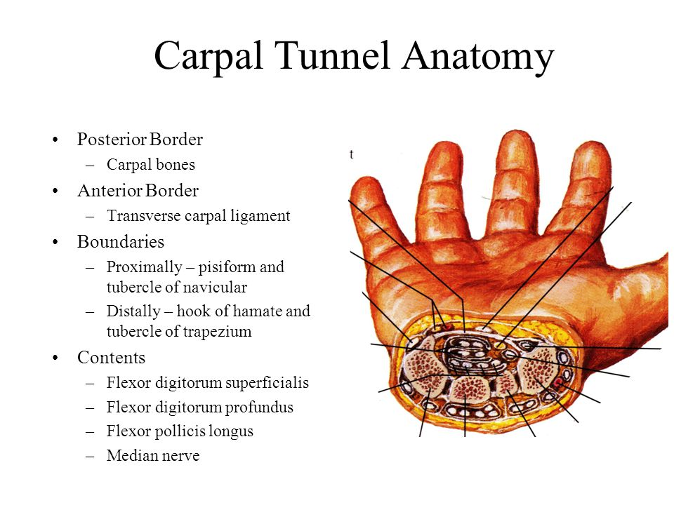 Carpal Tunnel Anatomy Posterior Border Anterior Border Boundaries