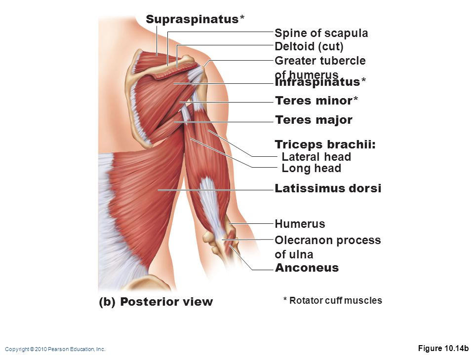 Supraspinatus* Spine of scapula Deltoid (cut) Greater tubercle