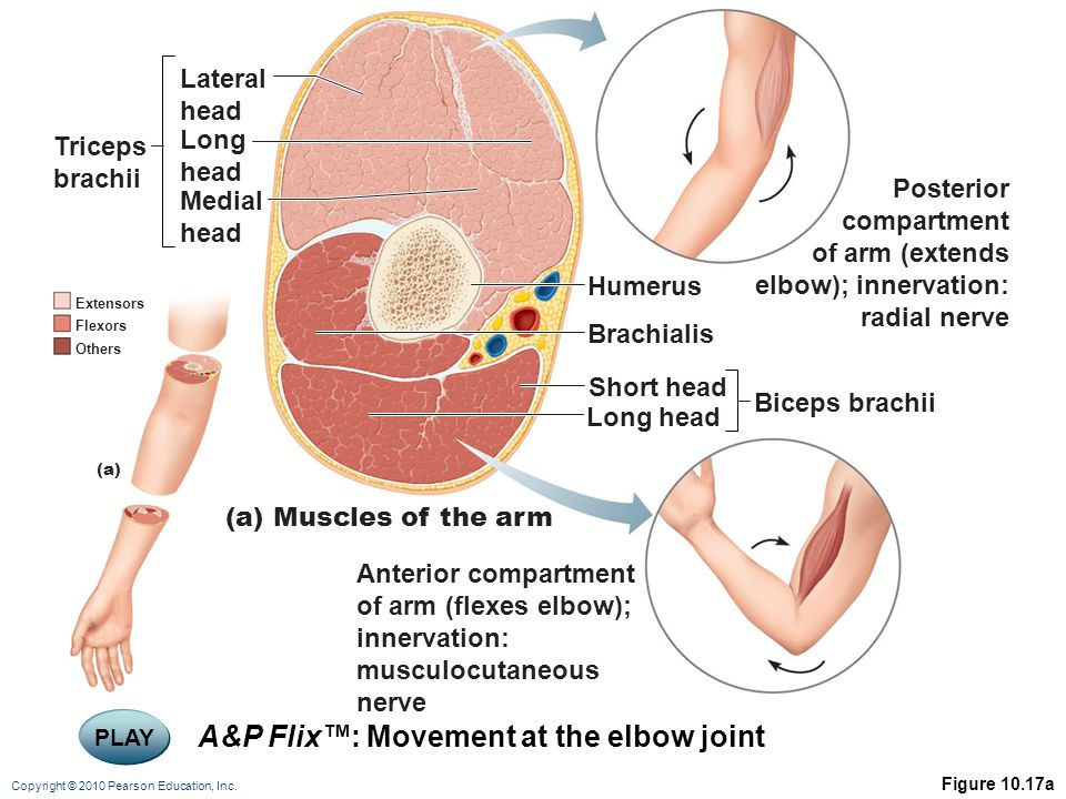 A&P Flix™: Movement at the elbow joint