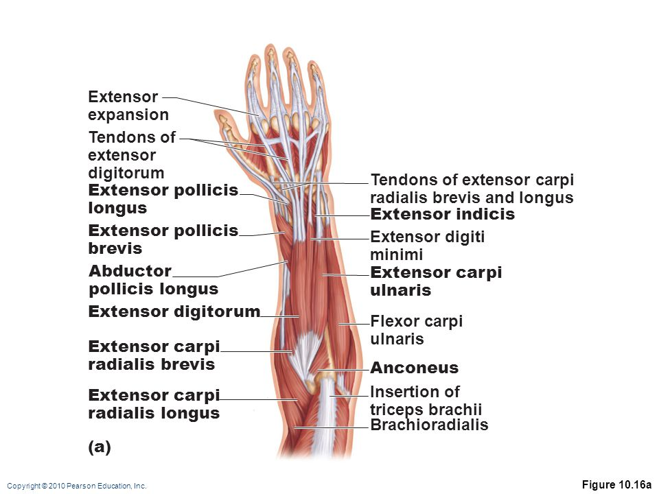 Tendons of extensor carpi radialis brevis and longus Extensor pollicis
