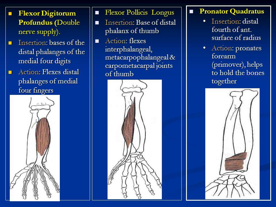 Flexor Digitorum Profundus (Double nerve supply).