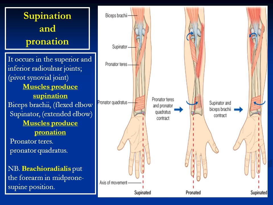 Muscles produce supination Muscles produce pronation