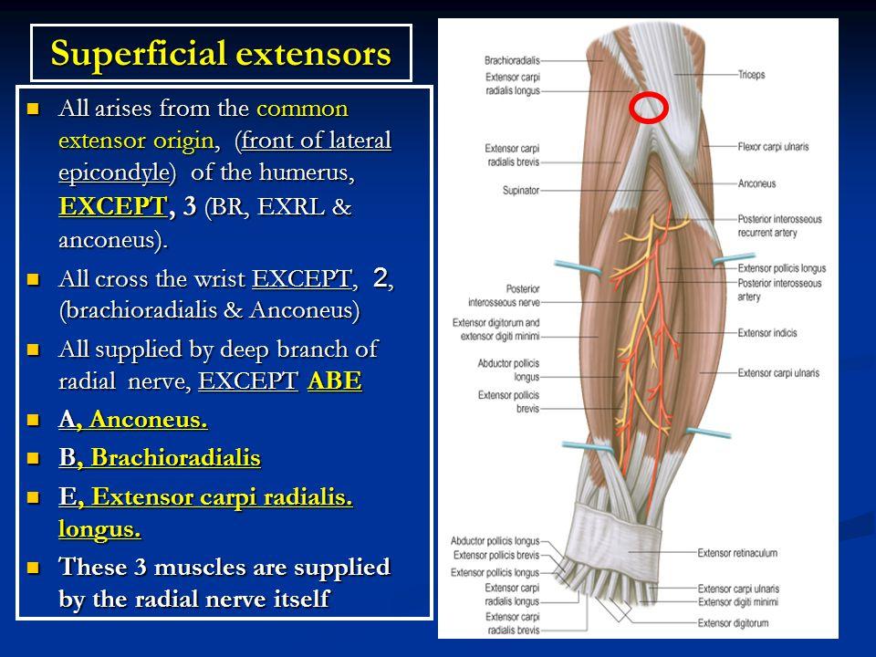 Superficial extensors