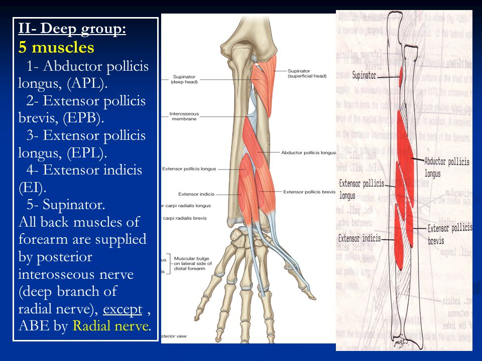 5 muscles II- Deep group: 1- Abductor pollicis longus, (APL).
