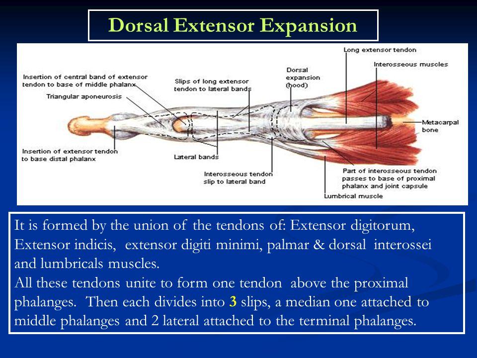 Dorsal Extensor Expansion