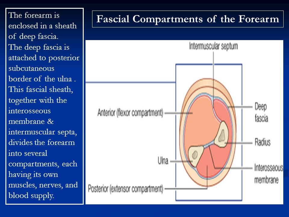 Fascial Compartments of the Forearm