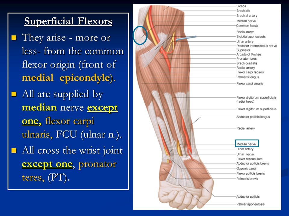 Superficial Flexors They arise - more or less- from the common flexor origin (front of medial epicondyle).